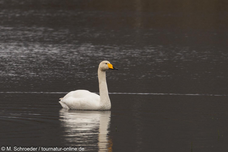 Singschwan - Whooper Swan (Cygnus)