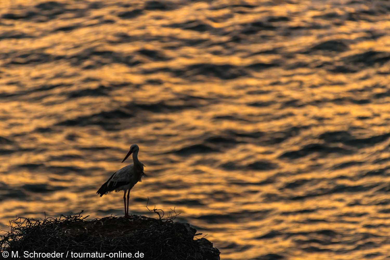 Weißstorch am Atlantik - white stork (Ciconia ciconia)