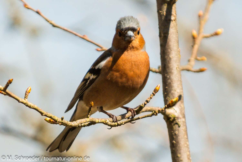 Buchfink / common chaffinch (Fringilla coelebs)
