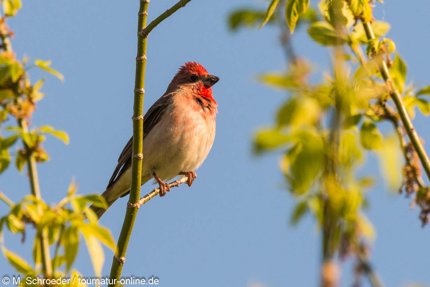 Karmingimpel / common rosefinch (Carpodacus erythrinus)