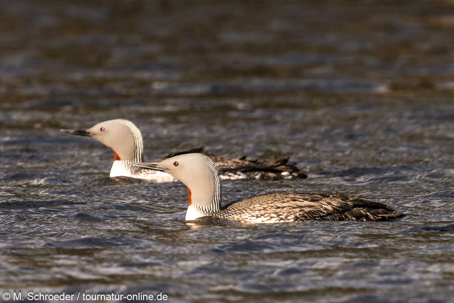 Sterntaucher - red-throated diver (Gavia stellata)