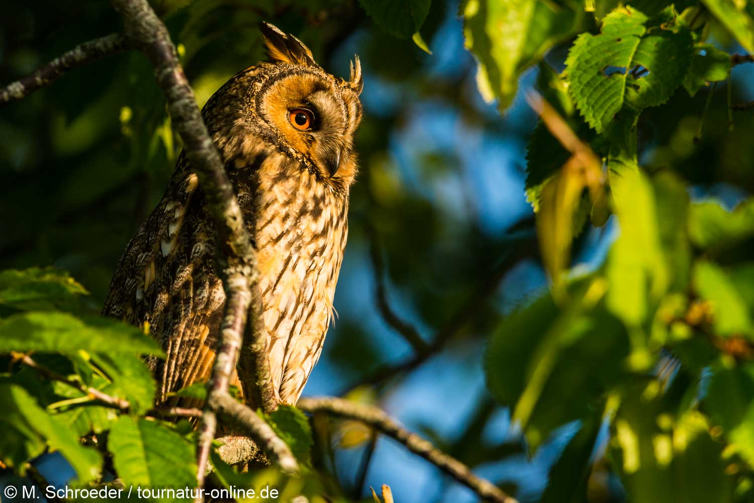 long-eared owl (Asio otus