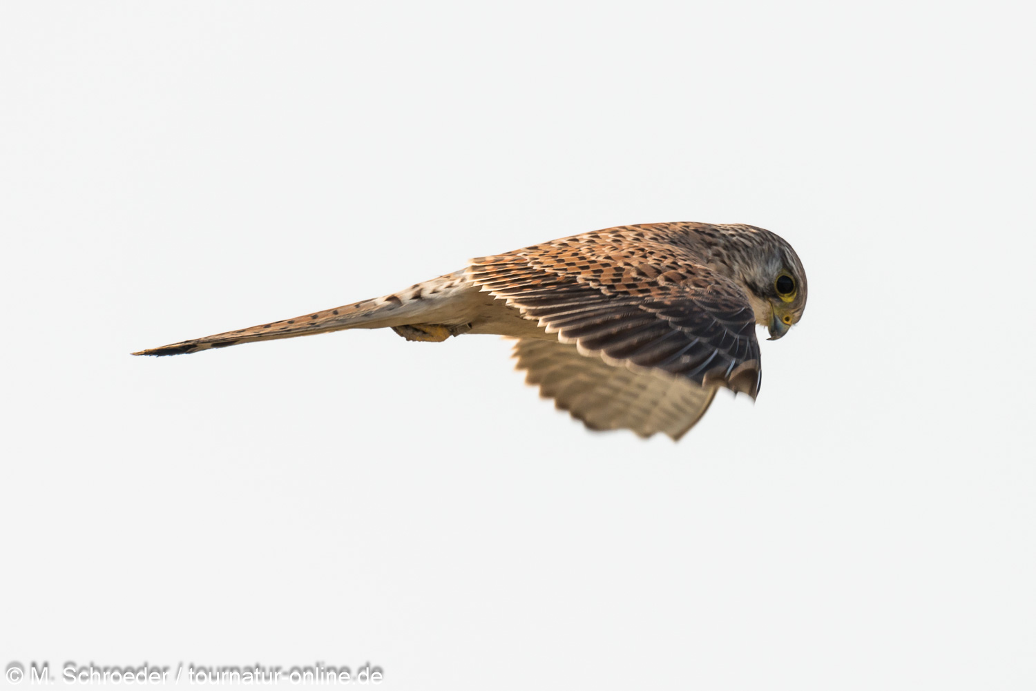 Turmfalke, weibl.  - common kestrel (Falco tinnunculus) , female