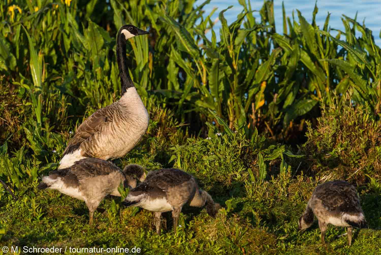 Kanadagans - Canada goose (Branta canadensis)