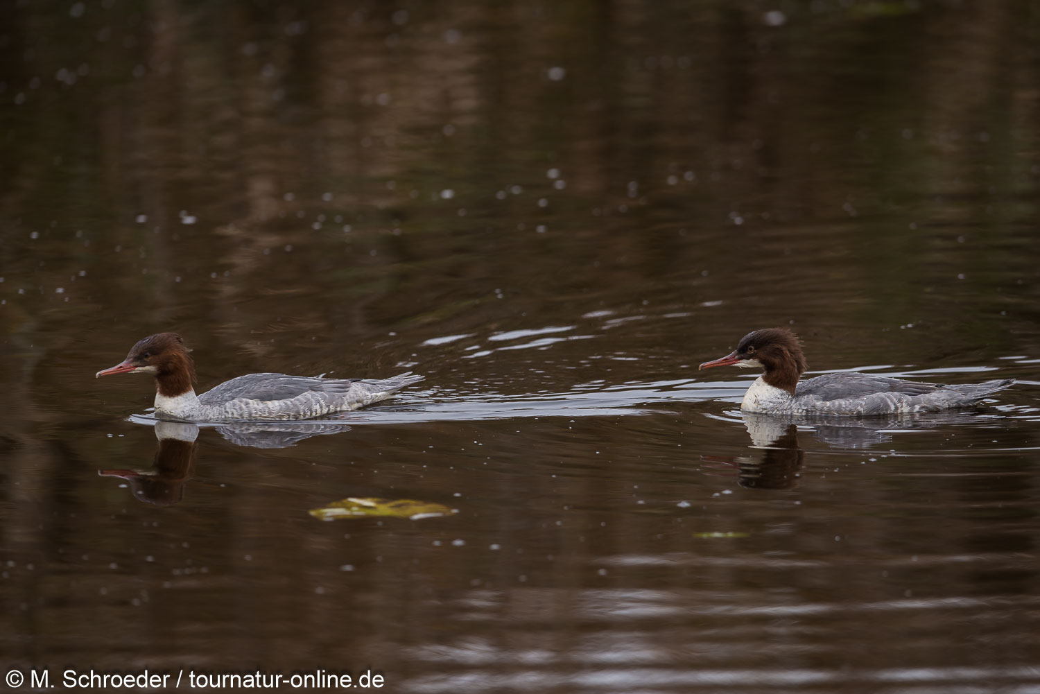 Gänsesäger - common merganser or goosander (Mergus merganser)