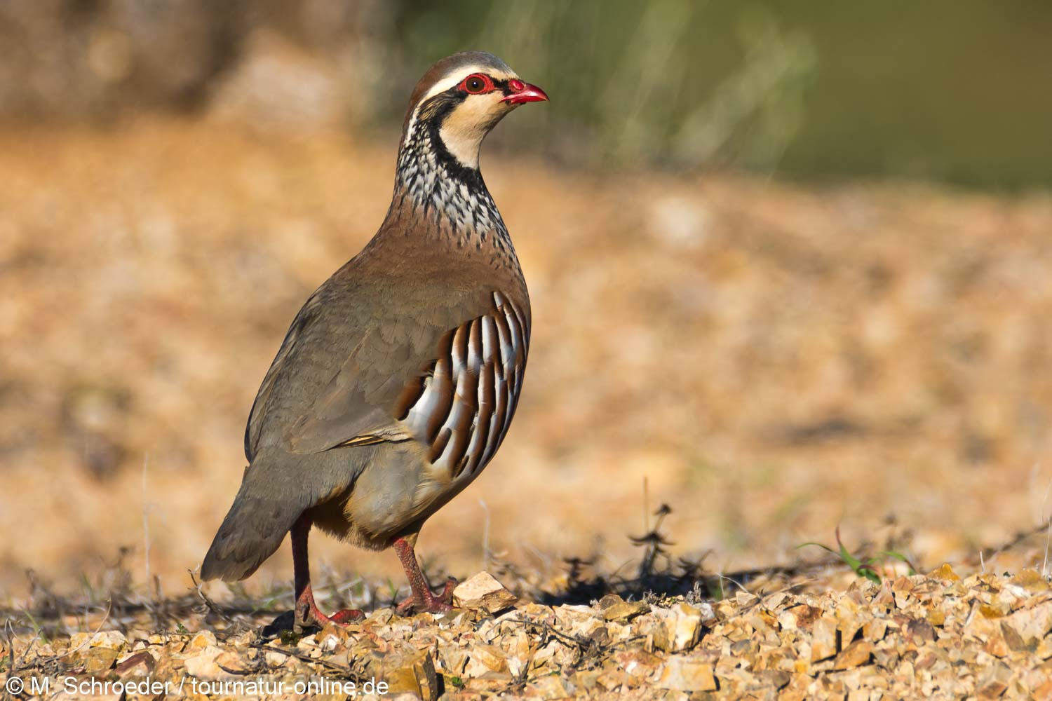 Rothuhn - red-legged partridge (Alectoris rufa)