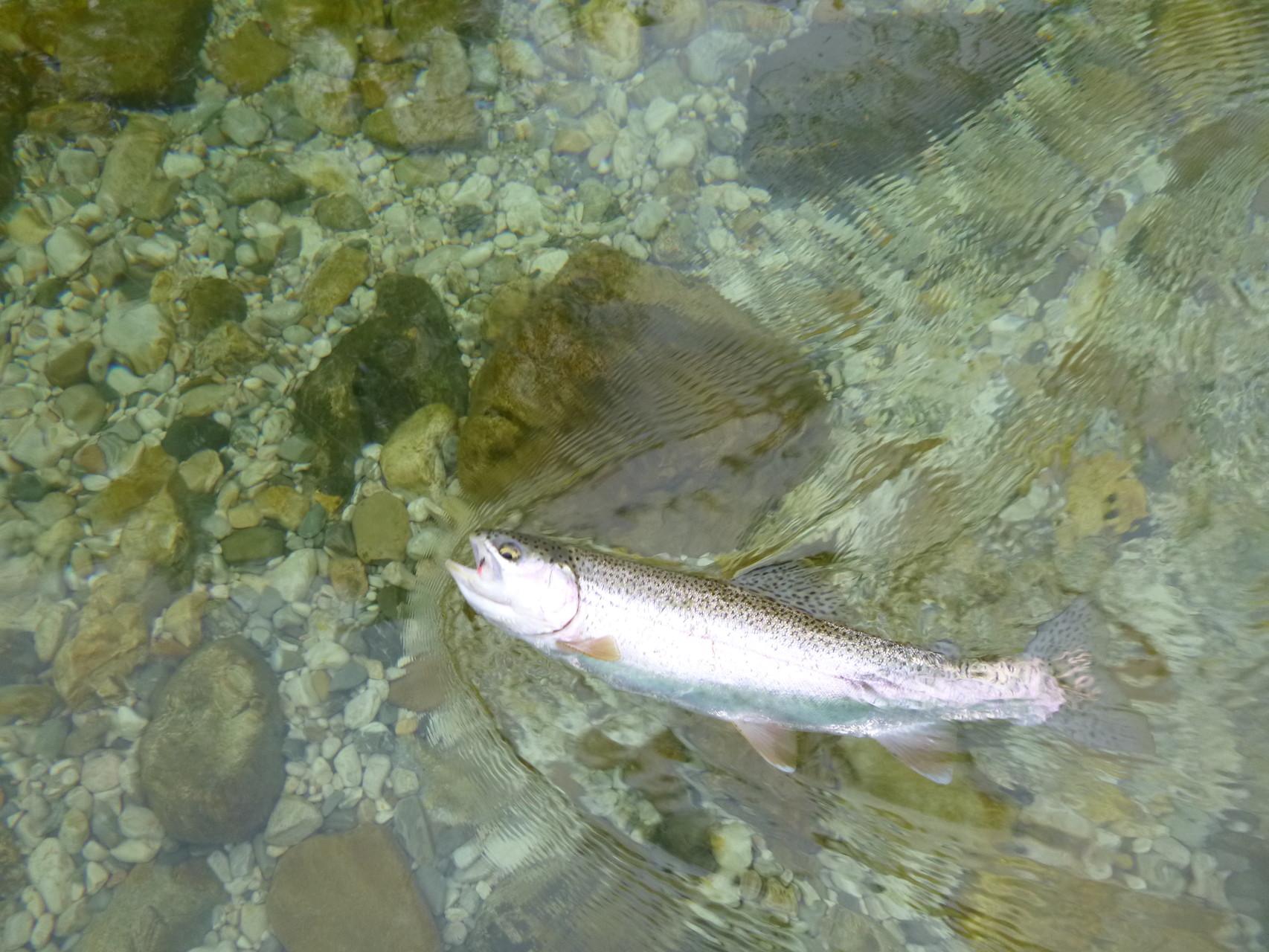 Forelle aus der Sava Bohinka