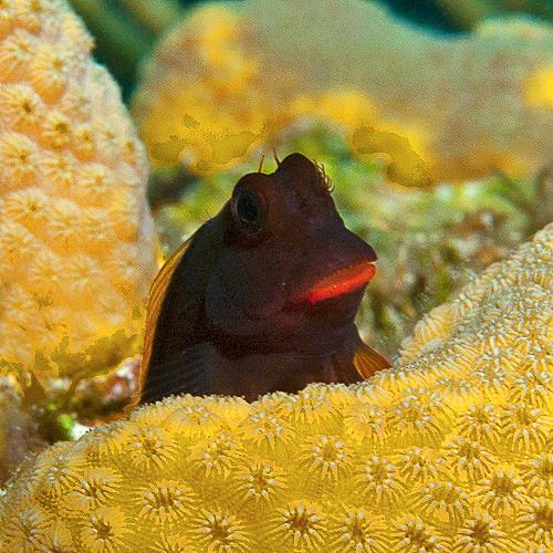 REDLIP BLENNY ; Ophioblennus Macclurei. Bahamas