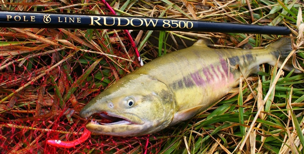 74cm、4.5kgの雄のサケ。サケ釣り用本流竿RUDOW8500による釣果
