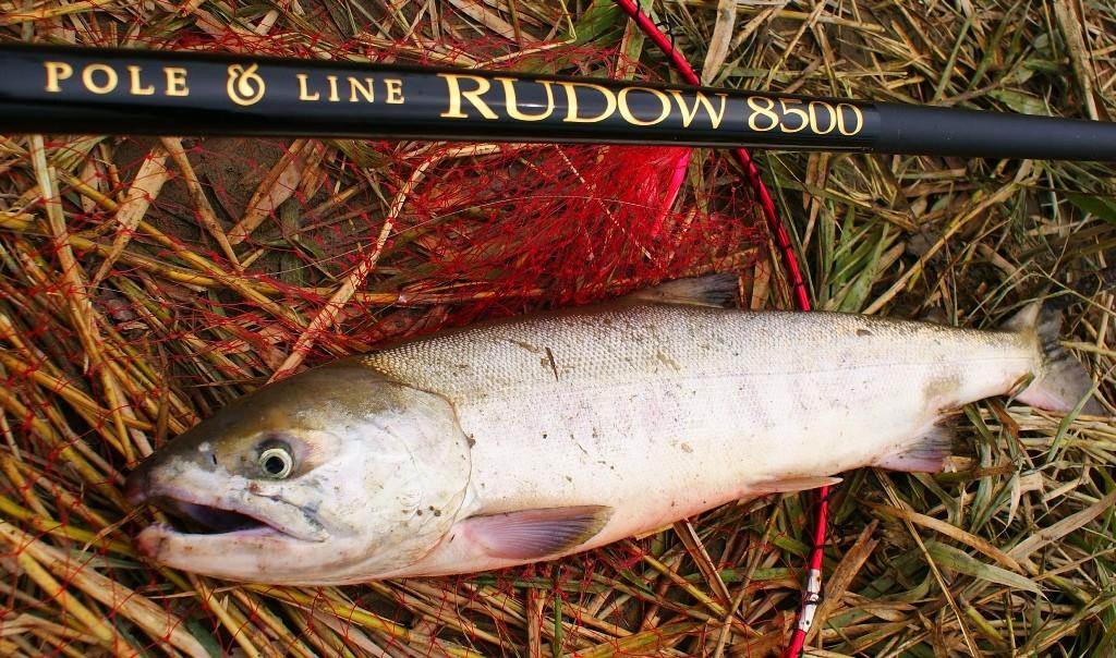 70cm、3.2kgの雄のサケ。サケ釣り用本流竿RUDOW8500による釣果
