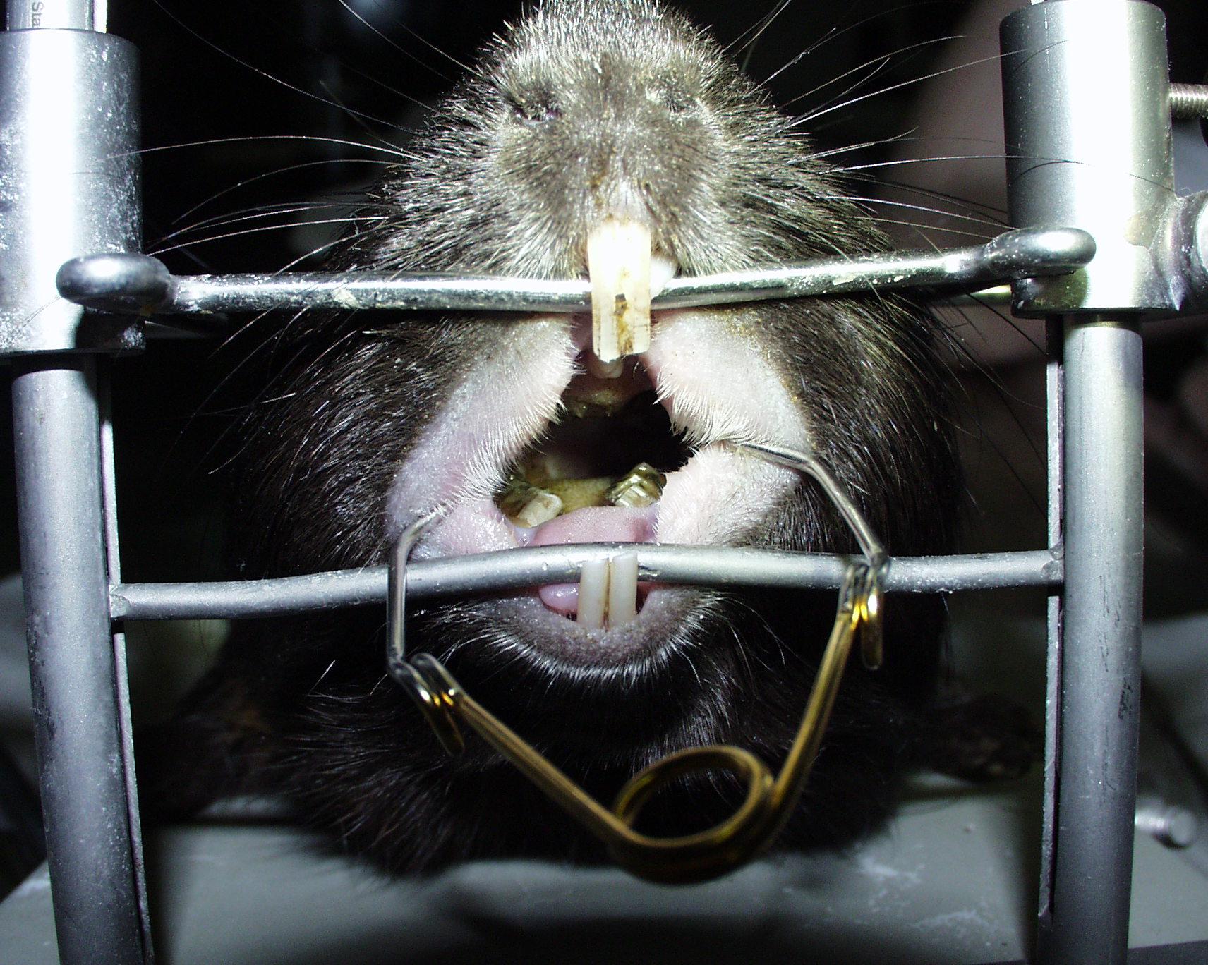 Zahnkorrektur Meerschweinchen