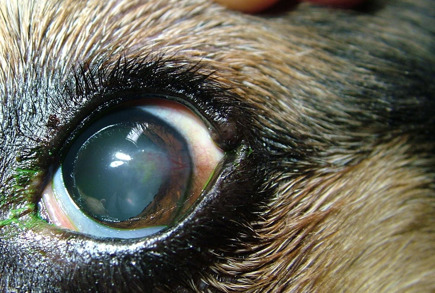 Hornhautdefekt Hund