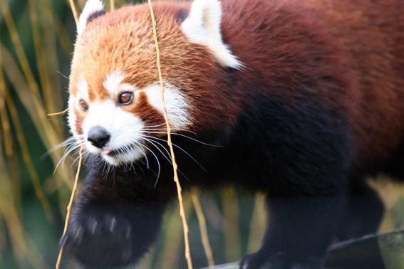 Panda roux ou petit panda