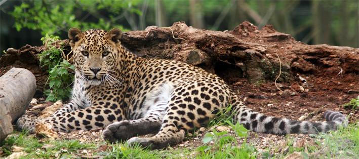 Panthère du Sri Lanka (Panthera pardus kotiya)