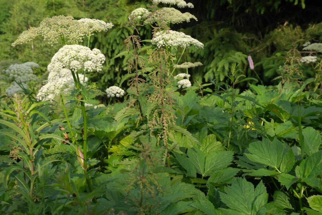 Meisterwurz (Peucedanum ostruthium) - eine ehemalige Kulturpflanze (Heilkraut)