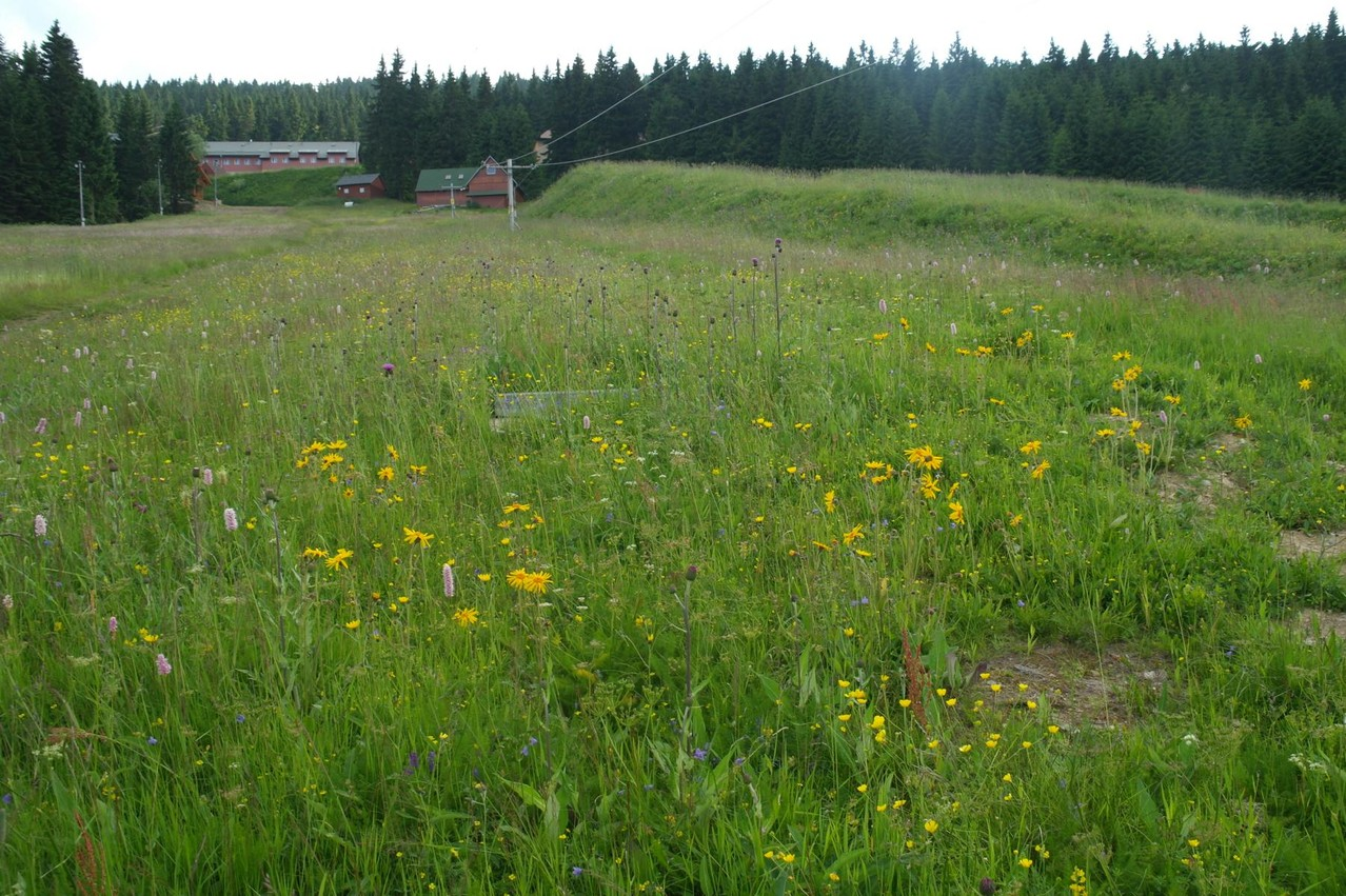 Magerwiese mit Arnika (Arnica montana) am Rand der Piste