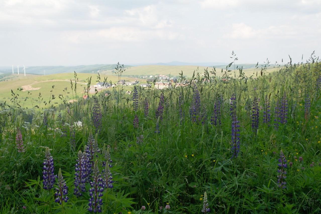 Die Vielblütige Lupine (Lupinus polyphyllos) wird vielerorts im Erzgebirge zum Problem: der Neophyt wandert in Bergwiesen ein