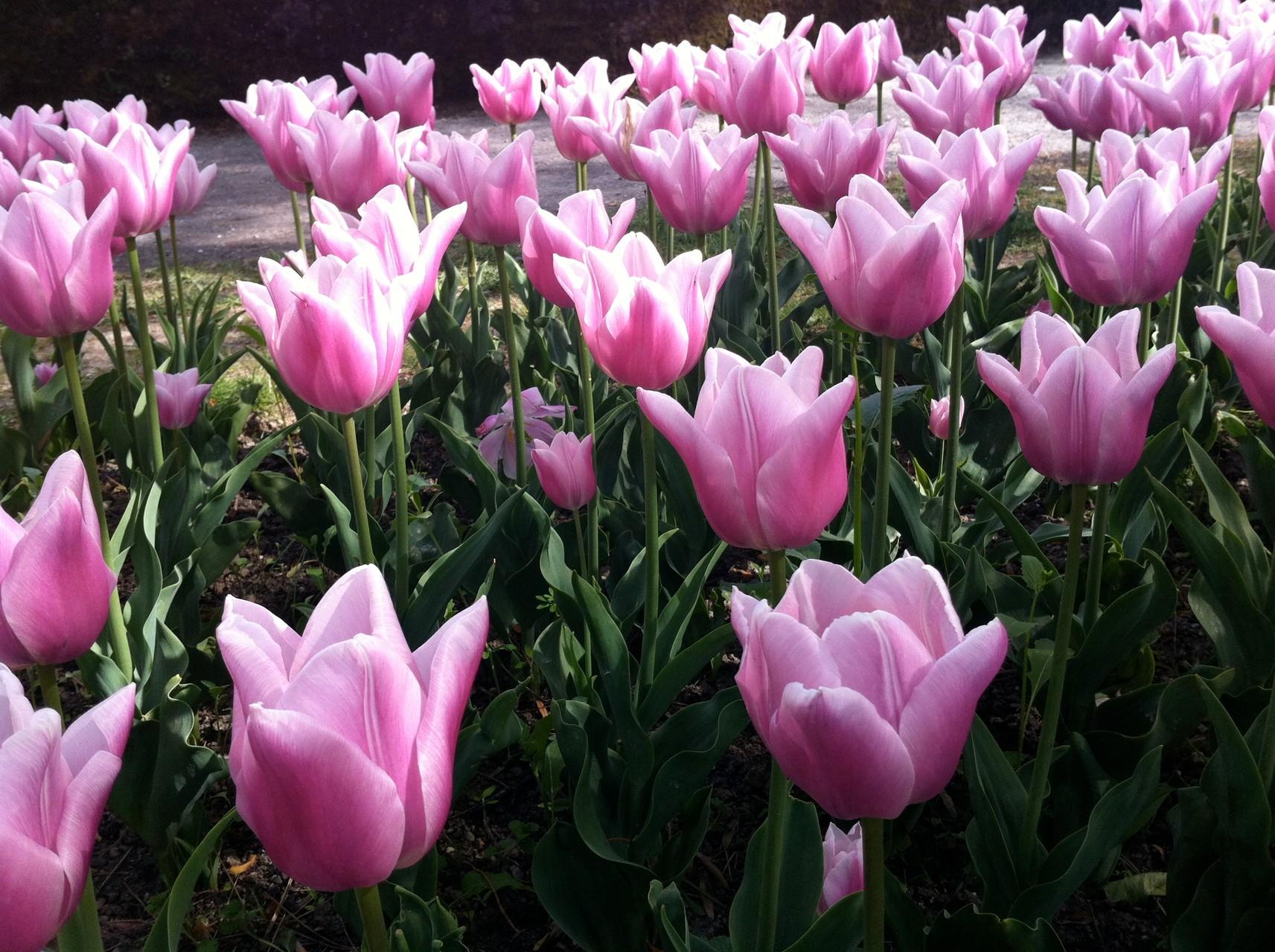 sortie tulipes à Morges