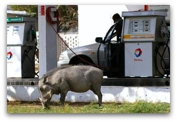 Warzenschwein an der Total Tankstelle