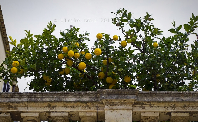 Zitronen in Nachbars Garten