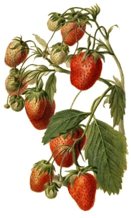 Parker Earle (strawberry) watercolor drawn in 1890 by Deborah Griscom Passmore (USDA)