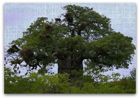 Baobab - ich liebe diese Riesen