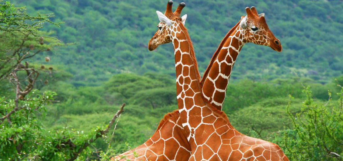Zwei Giraffen in Kenia