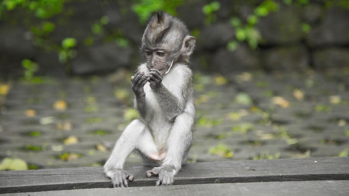 Affe auf Bali Indonesien