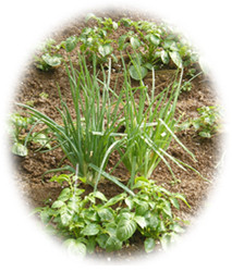 自家菜園にて 栽培野菜写真