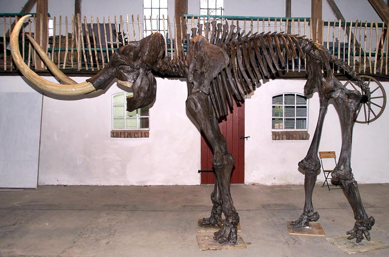 Mammut Skelett als Mietobjekt