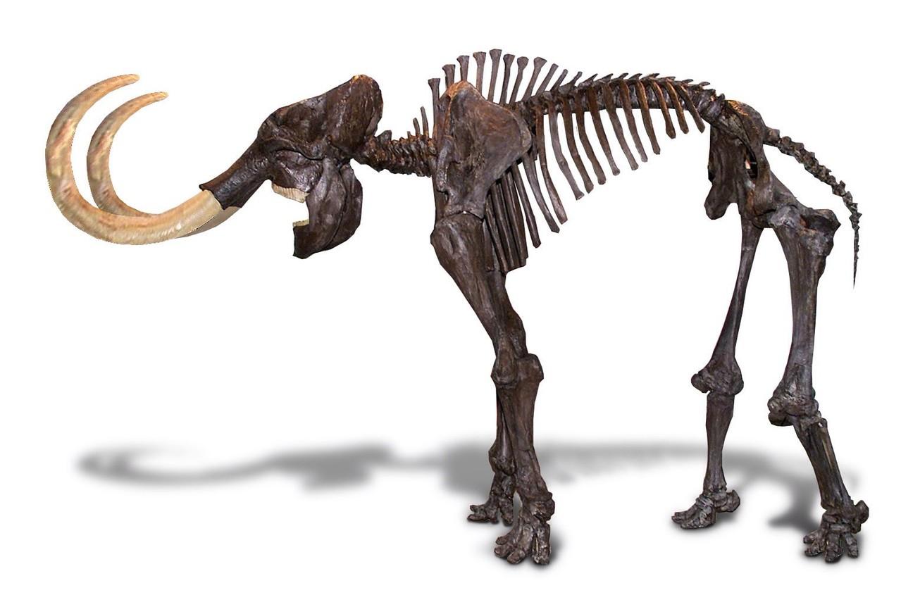 Mammut skeleton
