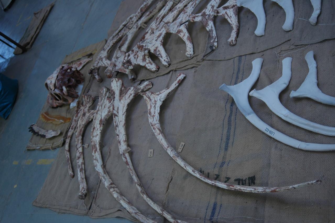 Rippen Rekonstruktion Spinophorosaurus