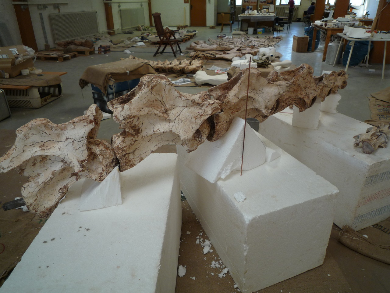 Reproduction of Spinophorosaurus bones