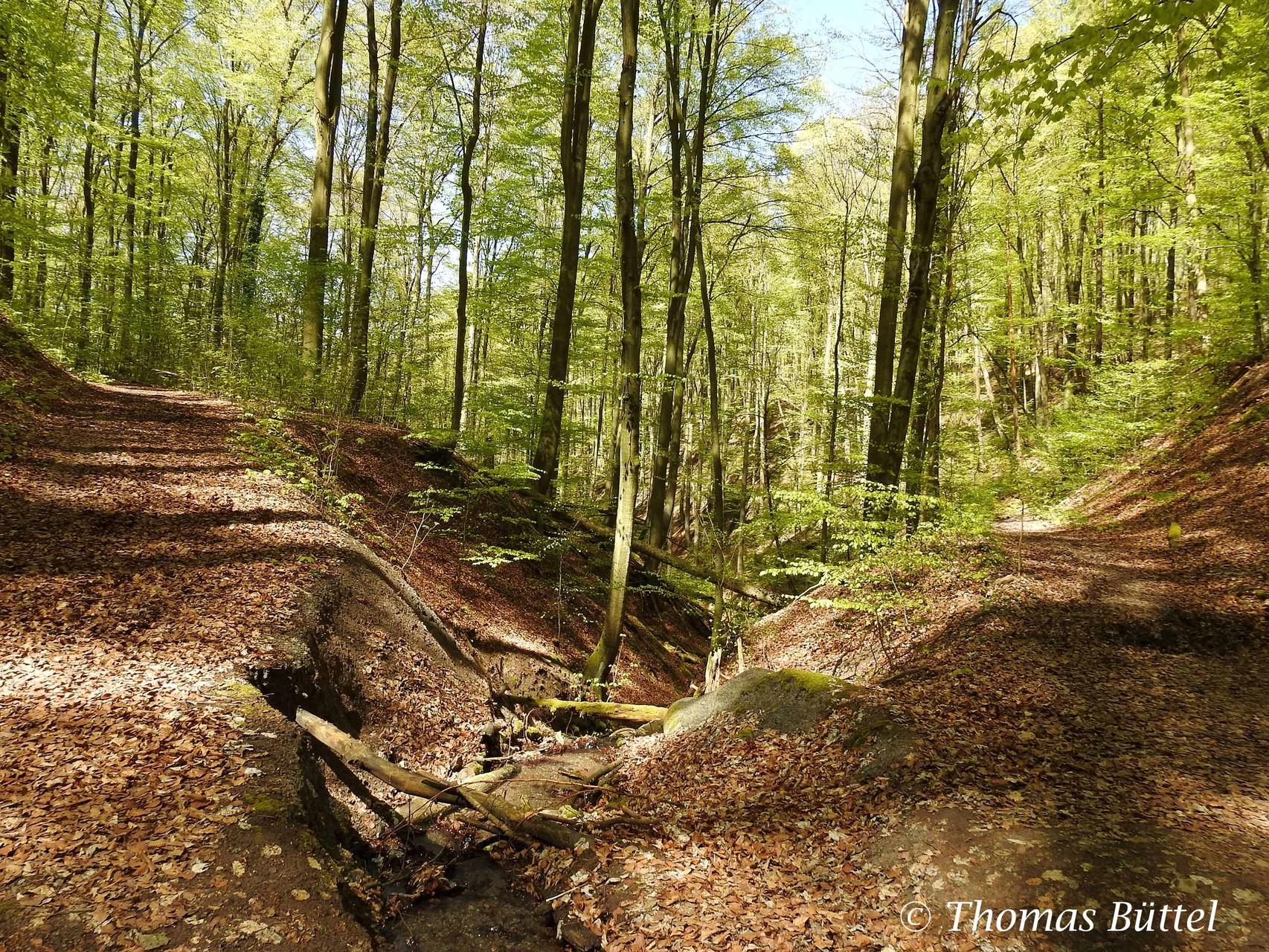 Wald am Schlangenweg bei Zell