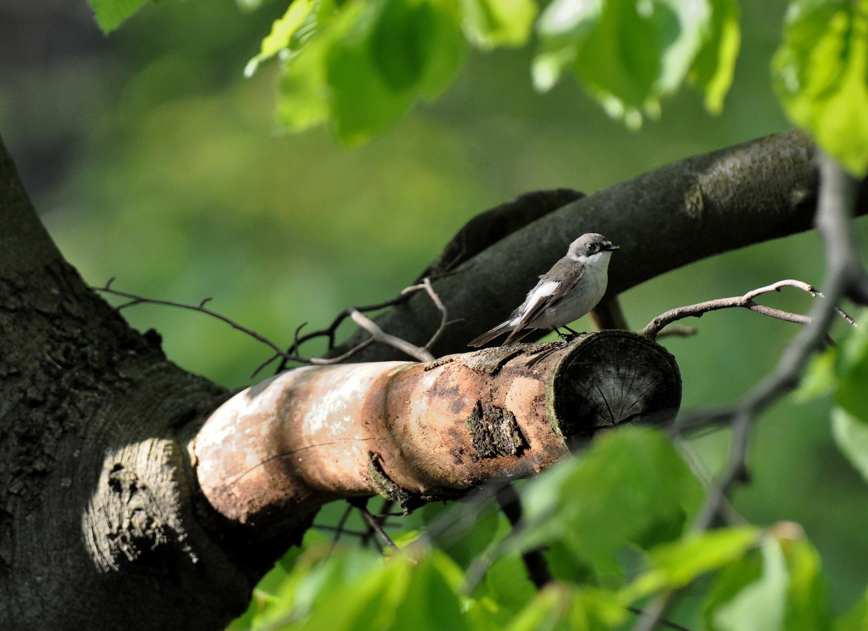 Pied Flycatcher - typical breeder