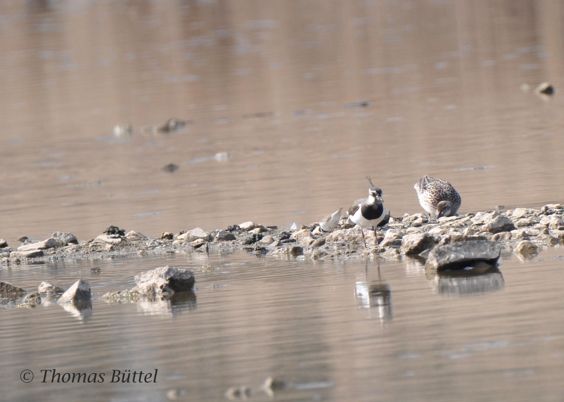 Little Ringed Plover, Lapwing, Garganey
