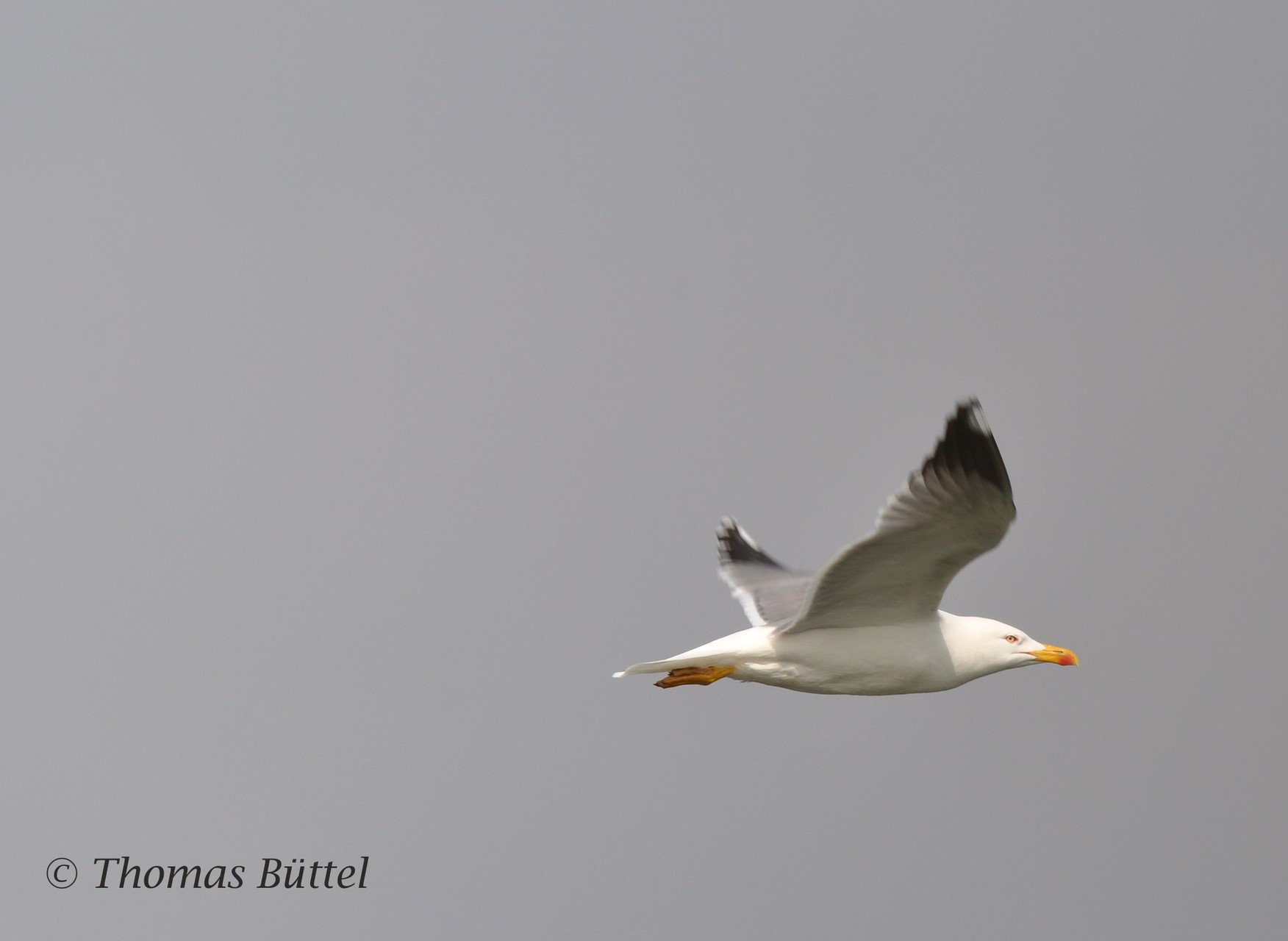 Yellow-ringed Gull