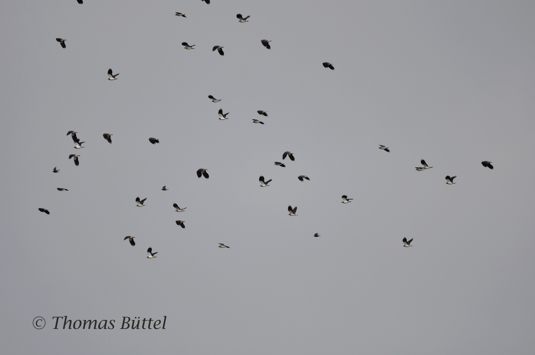 Lapwings in the air