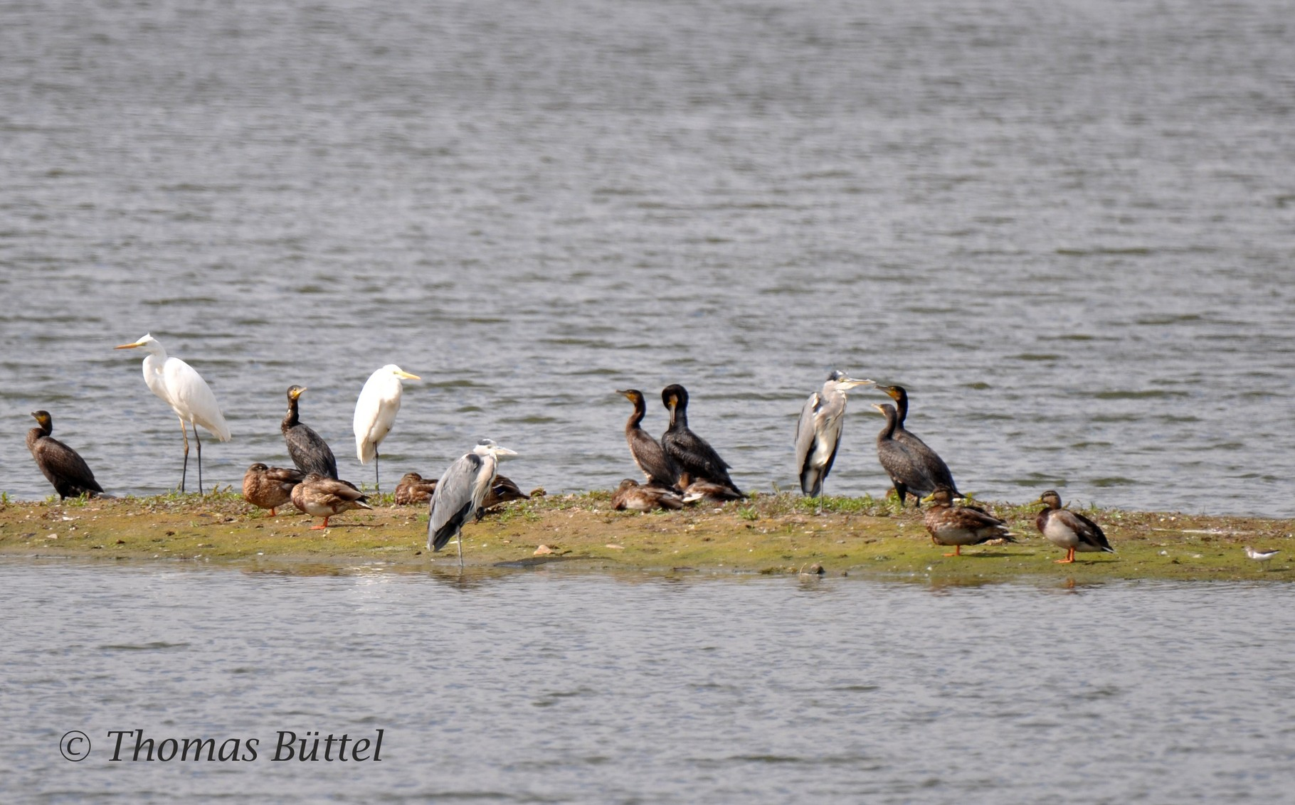Herons, Cormorants and a Common Sandpiper