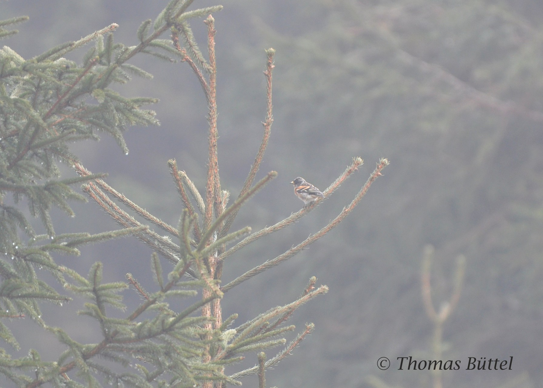 Bergfink im Nebel
