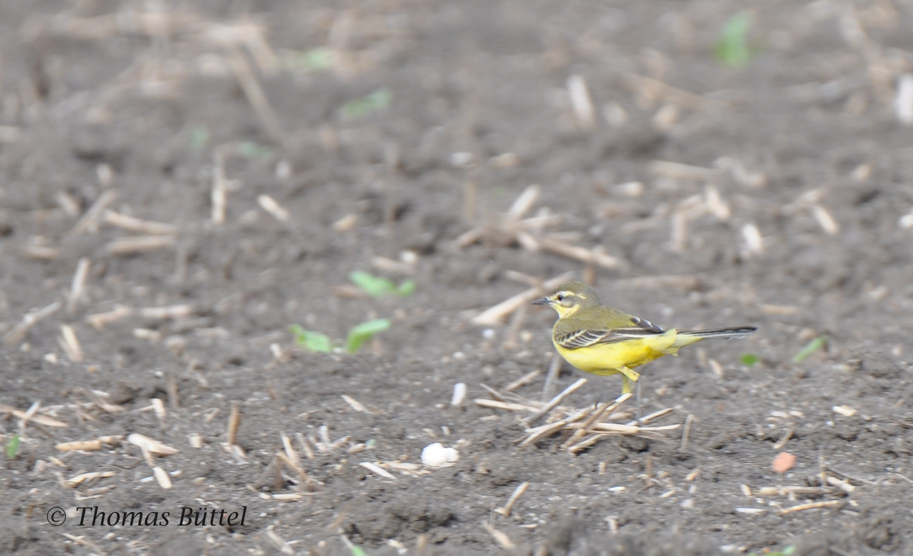 "mystery ""Yellow Wagtail"""