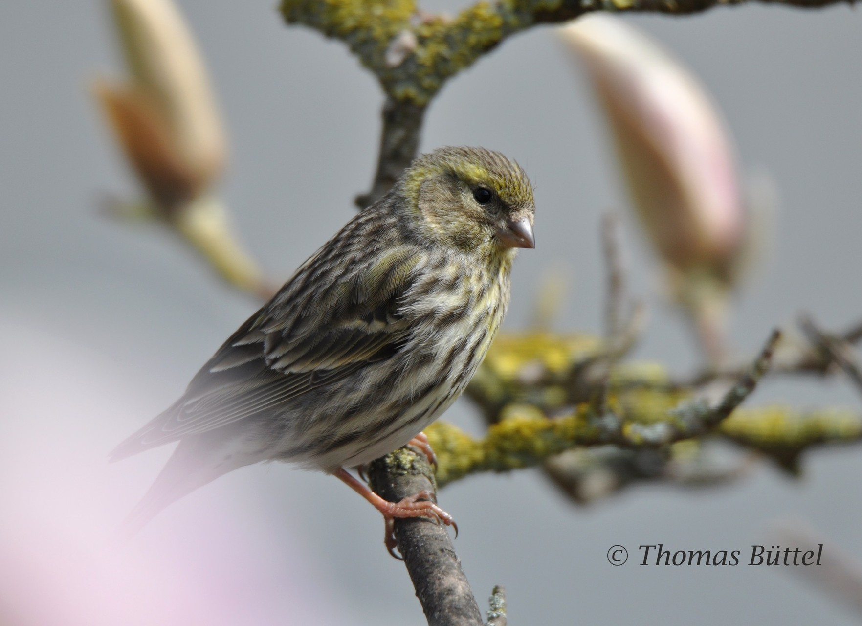 female Serin