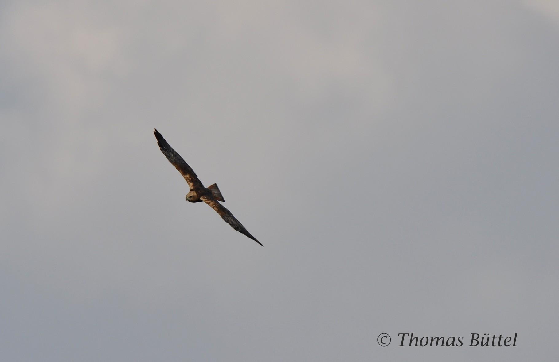 Marsh Harrier (2nd summer male)