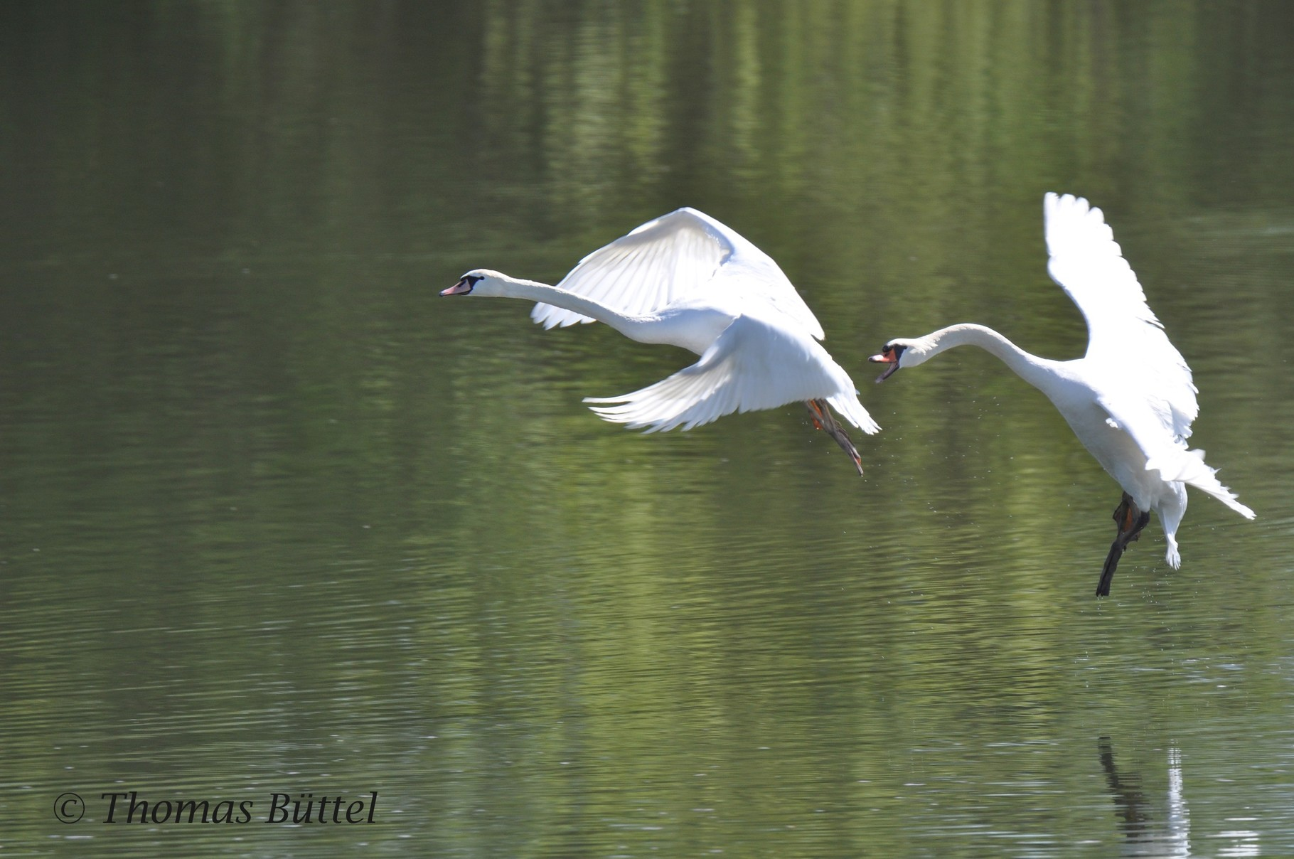 Mute Swan action