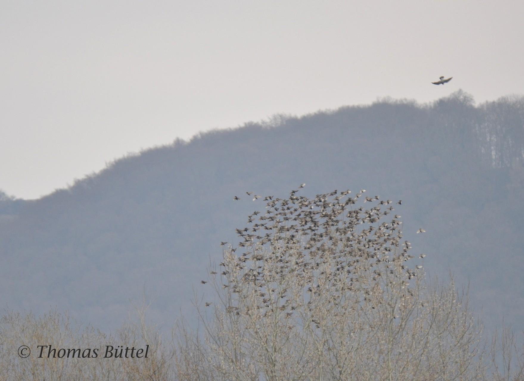 Wanderfalke jagt Luftschlössern hinterher