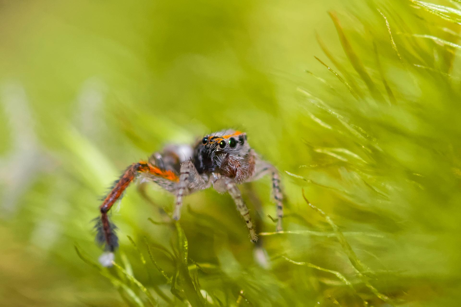 Saitis barbipes ( Salticidae )