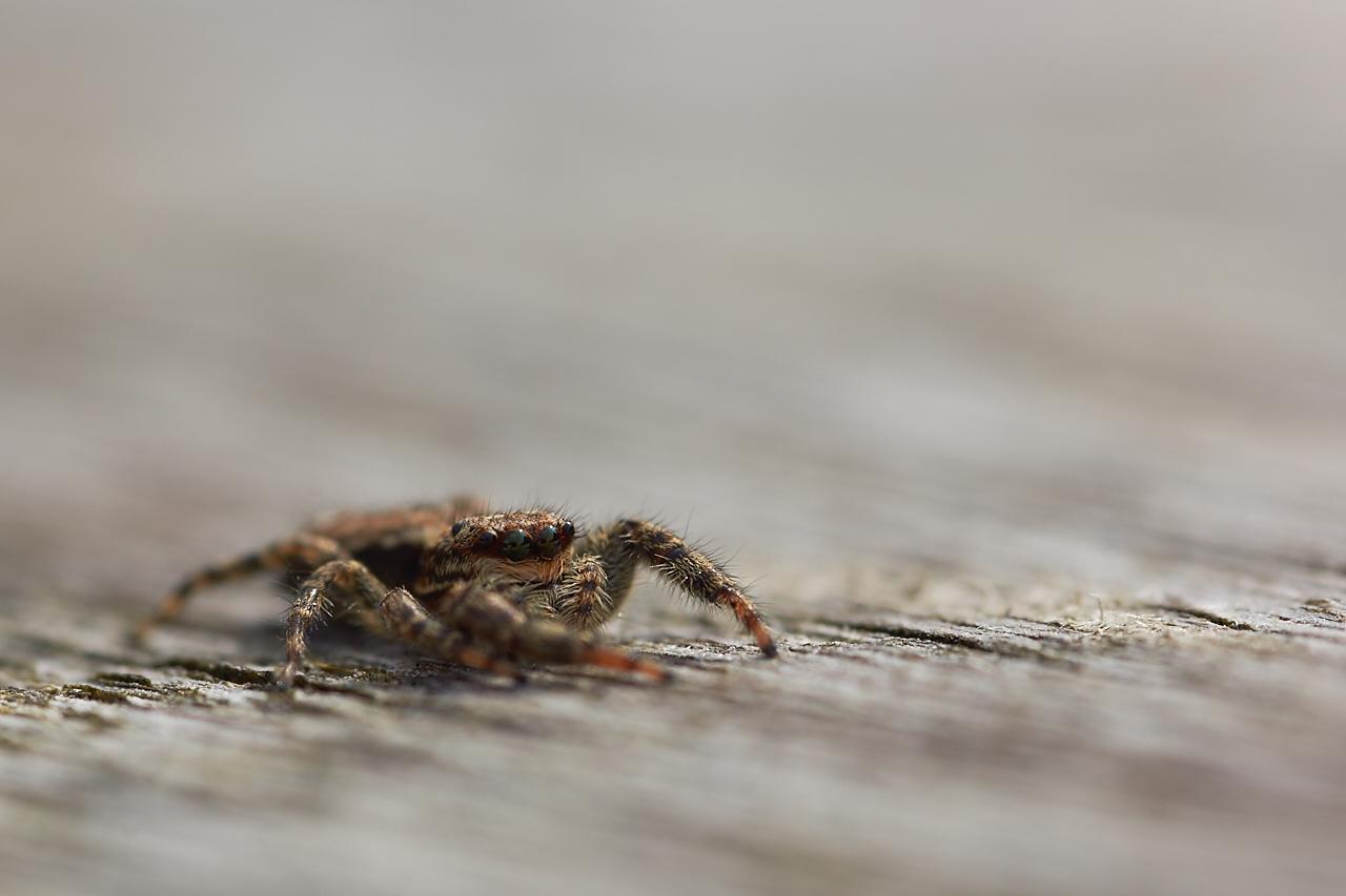 Marpissa muscosa ( Salticidae )