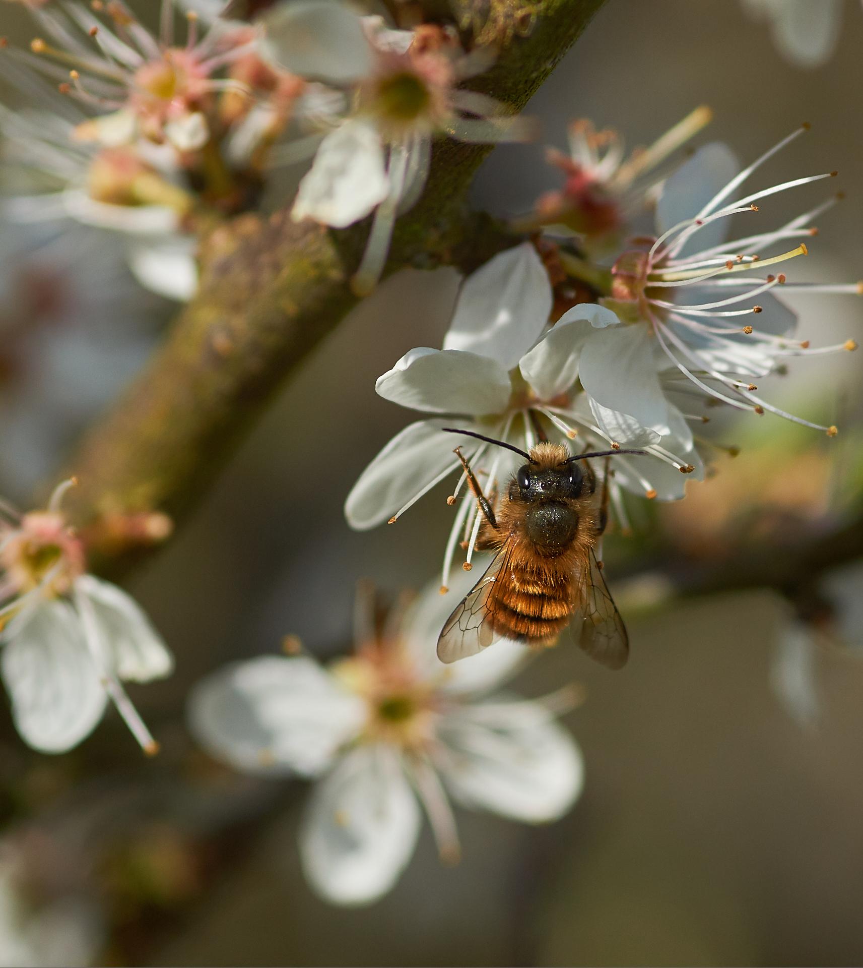 Osmie ( Megachilidae / abeille solitaire )
