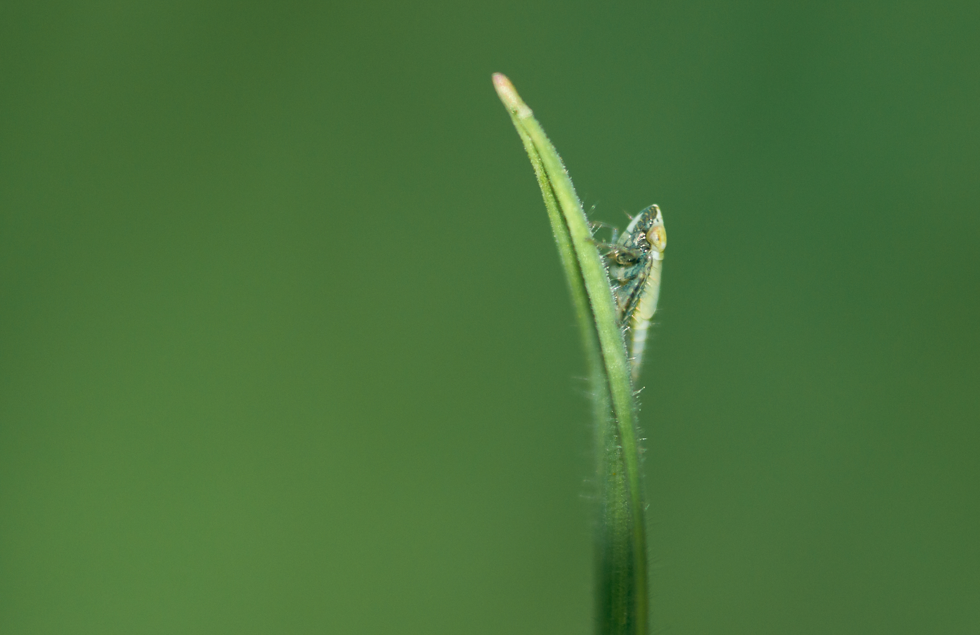 Cicadelle verte ( larve )