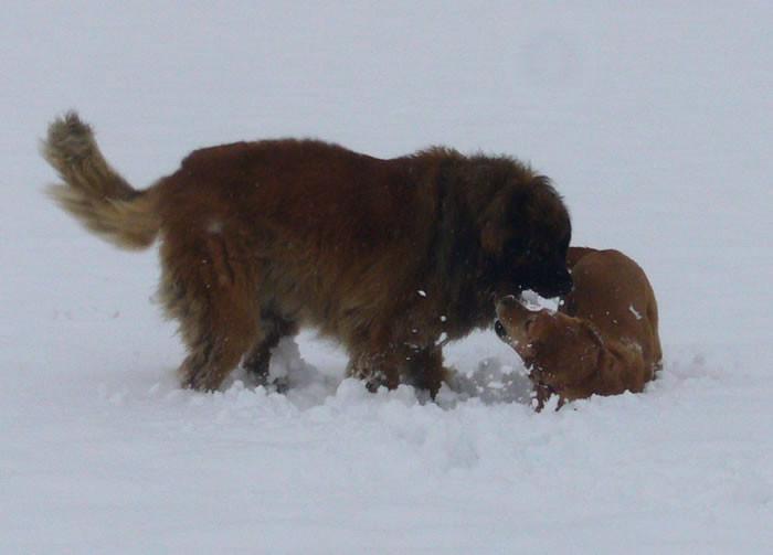 und mit Kimba raufen ist im Schnee noch viel viel toller